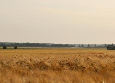 Barley field at Koskenkorva